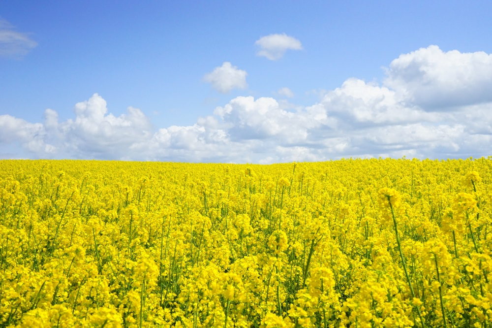 field-of-rapeseeds-oilseed-rape-blutenmeer-yellow-46164